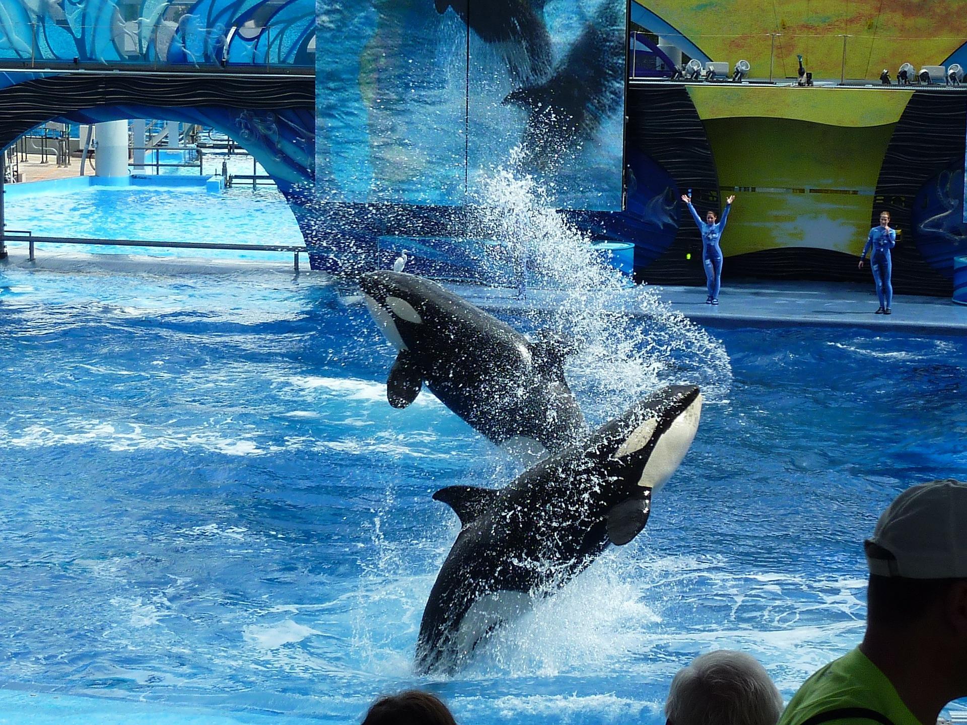 killer-whale-113527_1920